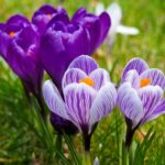 Crocus blooming... welcome spring!